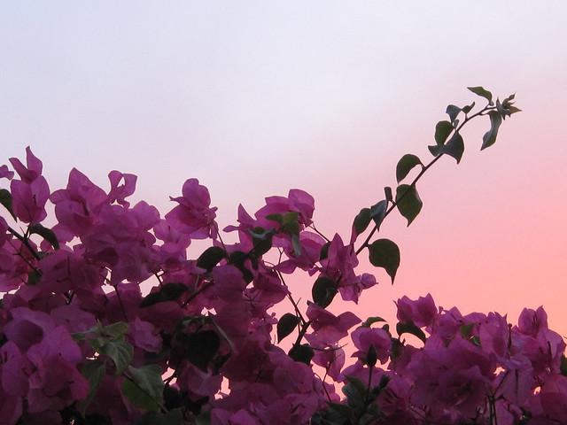 La vie rosa