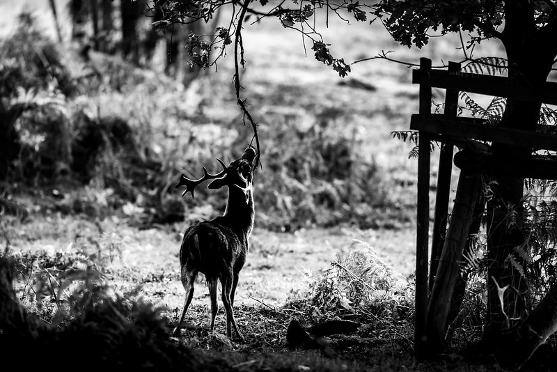 Young Fallow Stag Scent Marking