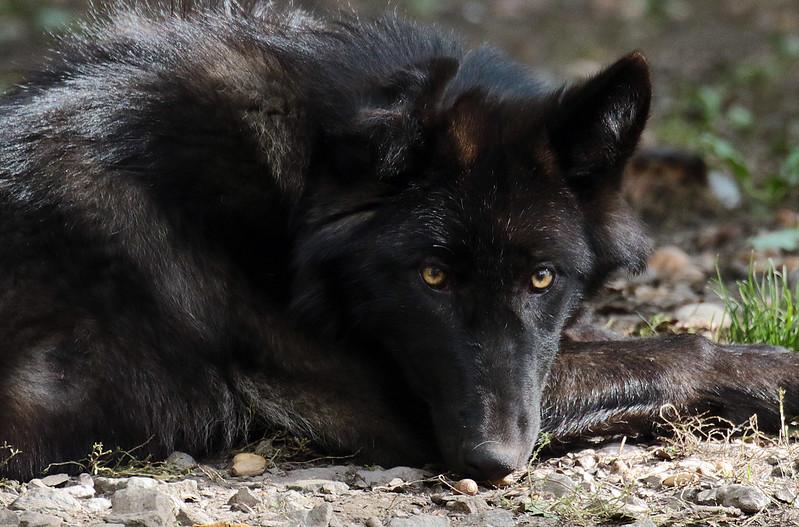 timberwolf Gelschenkirchen JN6A3529
