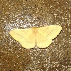 Yellow Butterfly  #Yellow #Butterfly #Butter #beautifulworld #beautifulEarth #beauty of #nature