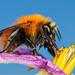 Bumblebee in Eggplant II by Dalantech