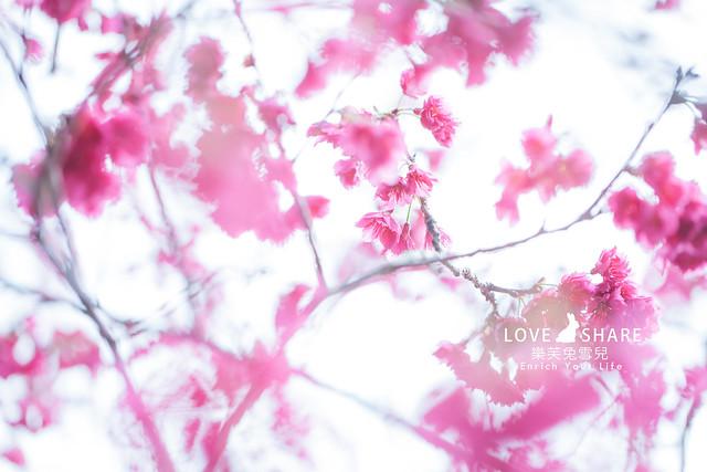【南投二日遊】沉浸在櫻花的兩天!2016南投、九族櫻花祭賞櫻去