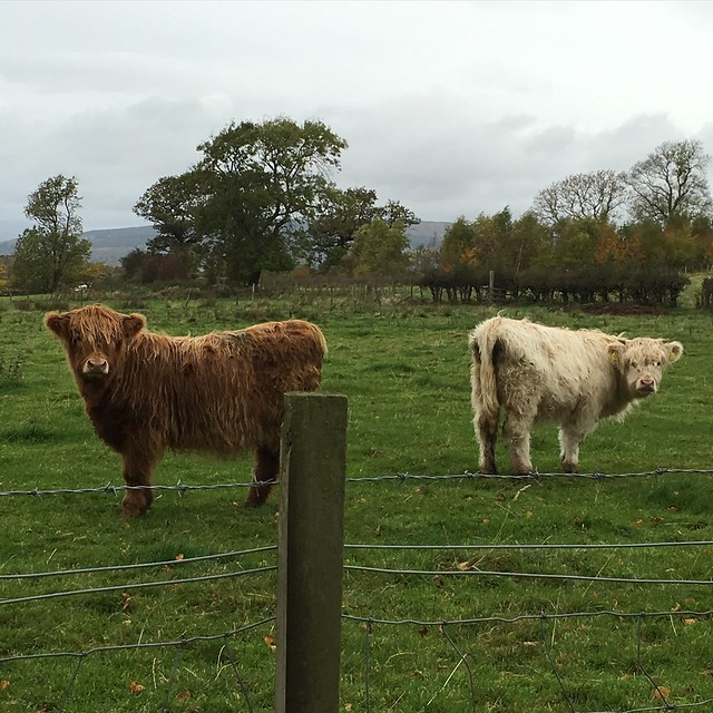 Brown and white coos