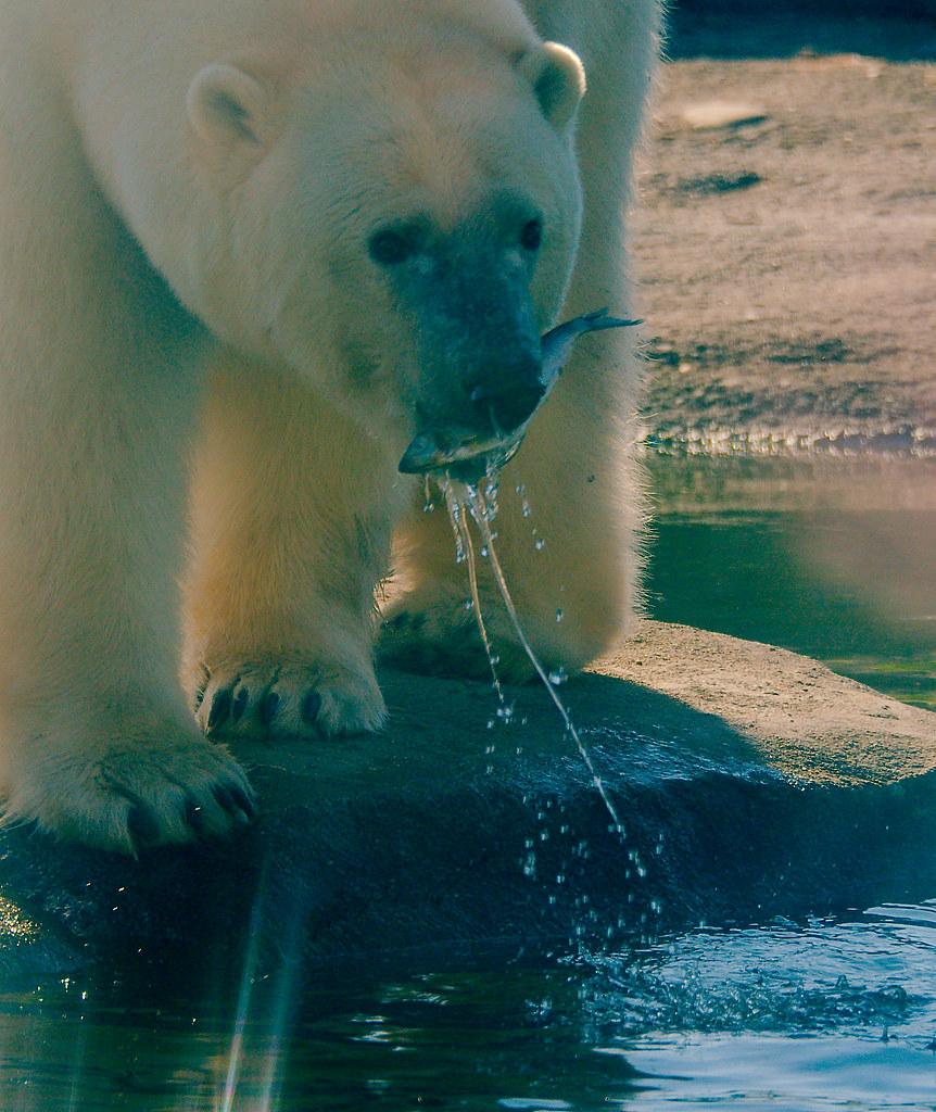 Polar Bear_15_v2