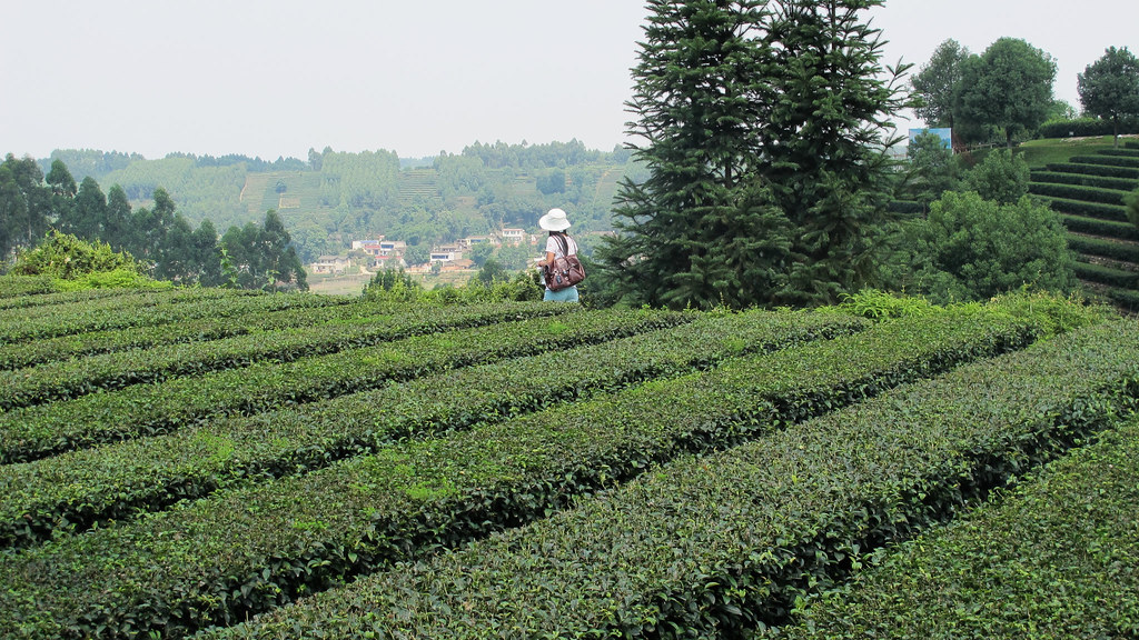 Image result for chinese tea farm