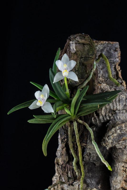 Miniatur-Orchideen 2. Teil - Seite 22 23375958140_e8a6188e7b_c
