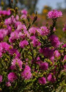 WA 039b Kunzea micrantha, Moore River Nature Reserve, Western Australia
