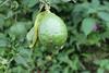 Lemon (local grown in Mizoram) by azara ralte
