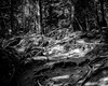 Cove Forest_bw by evanffitzer