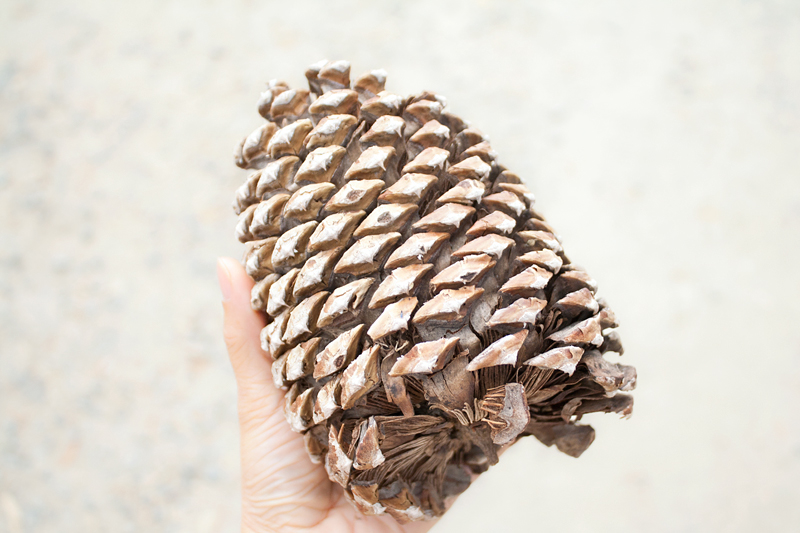 09-pinecones-tahoe-travel