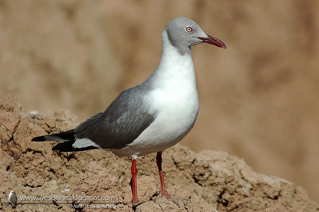 Gaviota capucho gris (Grey-headed Gull) Chroicocephalus cirrocephalus