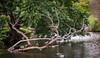 Branch of Ducks : September 30, 2015 by jpeltzer