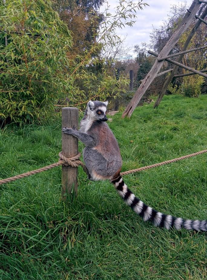 Ree Park Safari - Kata lemur