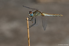 Sympetrum fonscolombii (Selys, 1840) ♀