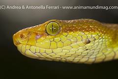 White-lipped Pit viper Trimeresurus septentrionalis