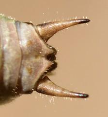 Eupholidoptera chabrieri male