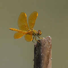 Perithemis intensa Mexican Amberwing CA AUG IMG_1033
