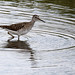 Wood Sandpiper (Jim Higham)