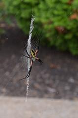 Spider v2