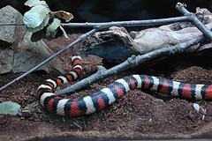 D70-0812-024 - California Mountain King Snake