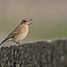 A87A4942 wheatear by steve.ray50