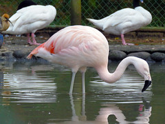 ibis(0.0), animal(1.0), zoo(1.0), wing(1.0), fauna(1.0), beak(1.0), flamingo(1.0), bird(1.0), wildlife(1.0),