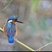 Malachite Kingfisher. by LC's Eye (Wild Images of Africa)