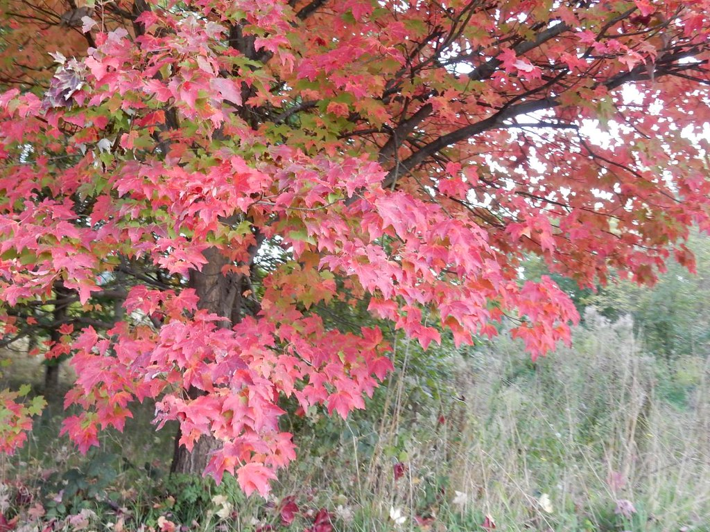 Pink leaves South Woodham Ferrers Circular