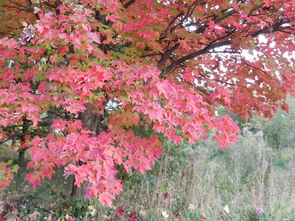 Pink leaves South Woodham Ferrers Circular