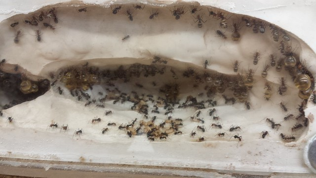 Myrmecocystus nest in the Fewell lab
