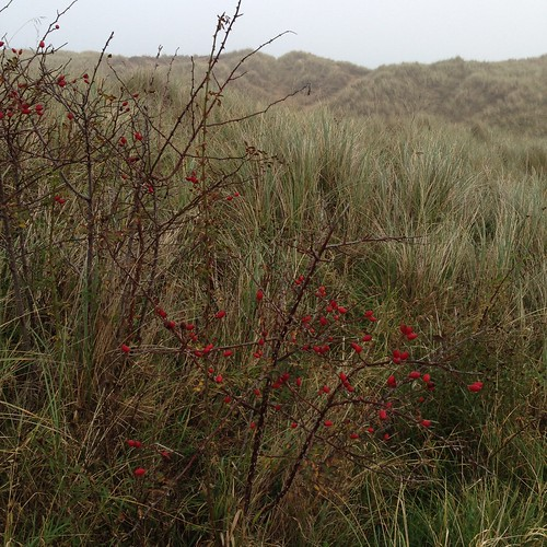 Rose hip. Nice bit of red in the sand dunes. 😊