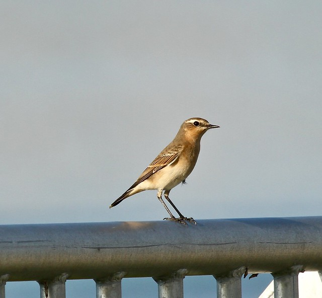 October 2015   Northern Wheatear