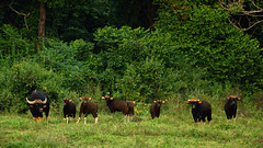 Gaur herd in Kui Buri national park