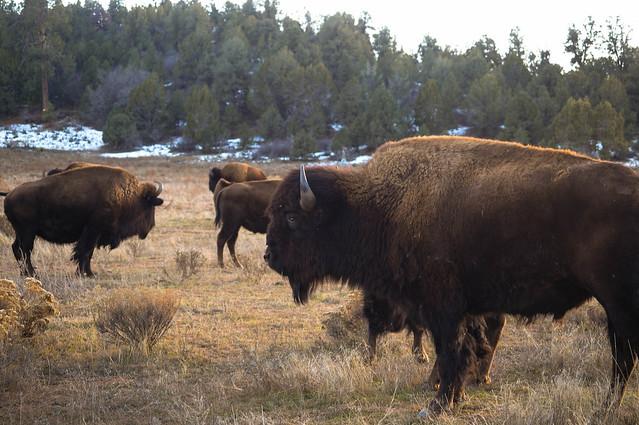 bison (aka american buffalo)