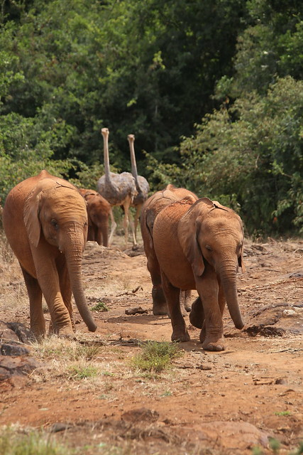 Sheldrick's Elephant Orphanage