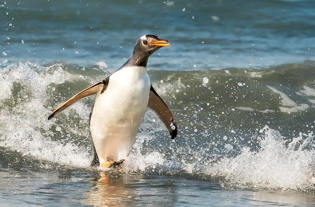 Pingüino papua saltando, de vuelta a la playa - gentoo penguin - Pygoscelis papua CROP
