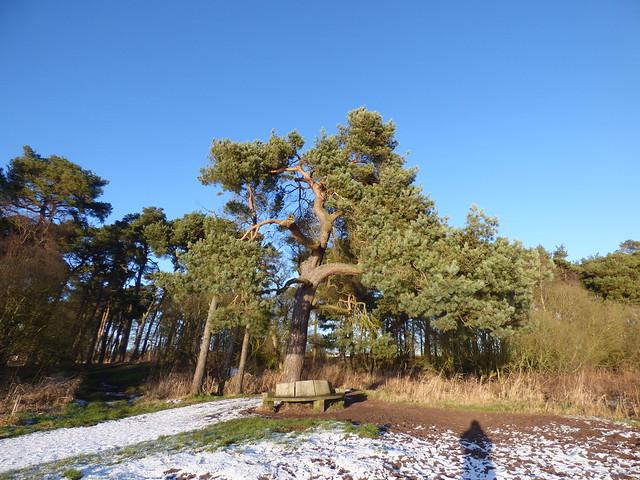Burleigh Pine, Loch Leven NNR