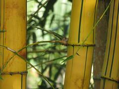 A stand of striped bamboo in Puerto Vallarta's Botanical Garden, Mexico