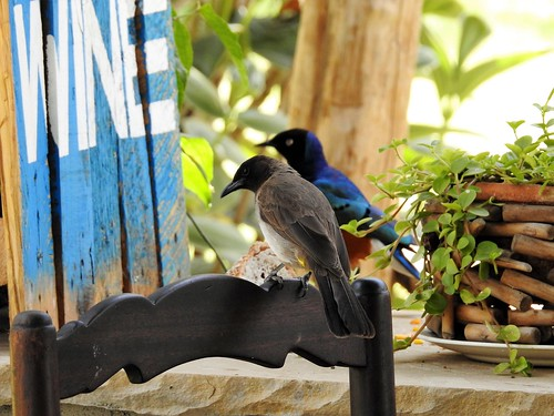 common bulbul pycnonotus barbatus superb starling bird kenya njoro