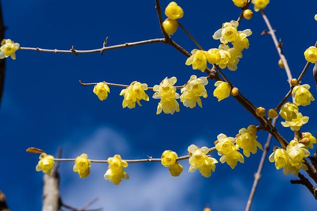 真っ青な寒空に映える蠟梅