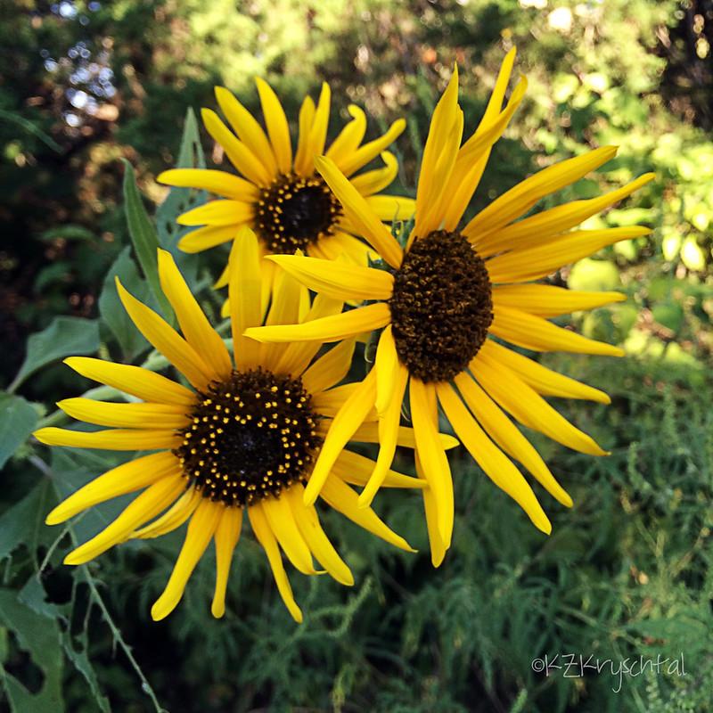 IMG_1692Sunflowers