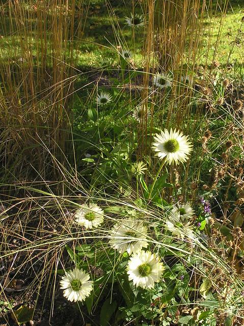Echinacea 'Virgin' & Stipa capillata