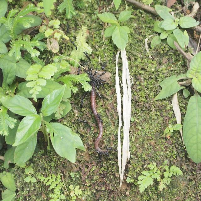 螞蟻搬運死掉的蚯蚓