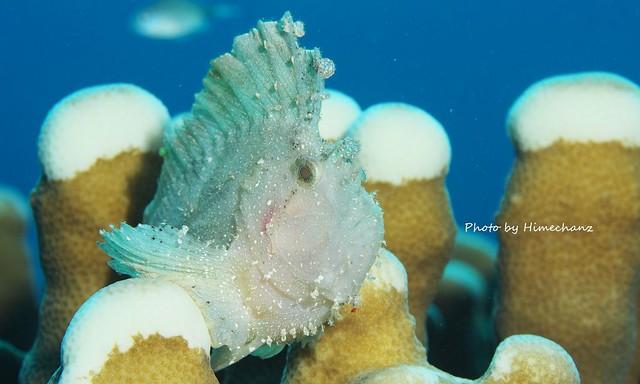 サンゴの上が白化してるのが気になる。。。ハダカハオコゼ