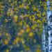 complementary birches by Sandra Bartocha