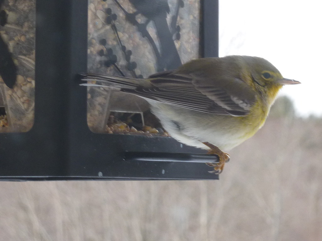 Pine Warbler on 2015 Orillia CBC by Anne Ross