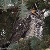 Hibou moyen-duc / Long-eared Owl by anjoudiscus