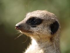 Meerkat Species with Black Eyes