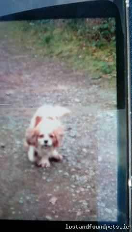 Sat, Mar 4th, 2017 Lost Female Dog - Pollnabrone, Menlough, Galway