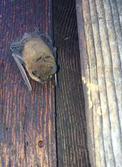wren(0.0), perching bird(0.0), leaf(0.0), old world flycatcher(0.0), animal(1.0), wood(1.0), fauna(1.0), bat(1.0), bird(1.0), wildlife(1.0),
